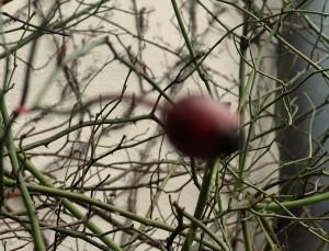 Rosenhecke Hagebutte Efeu garteling.at Gartenblog