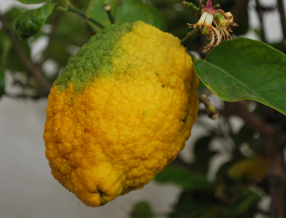 Hohes C Des Gartelns: Experten-tipps Für Zitruspflanzen - Garteling.at Richtige Pflege Von Zitruspflanzen