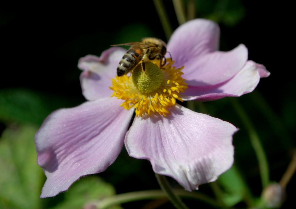 garteling-cecerle-uitz-garteling-cecerle-uitz-anemonen-gartenblog-gartenblog