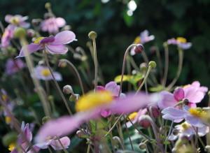 garteling-cecerle-uitz-anemonen-gartenblog