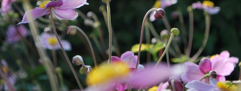 garteling-cecerle-uitz-gartenblog-anemonen
