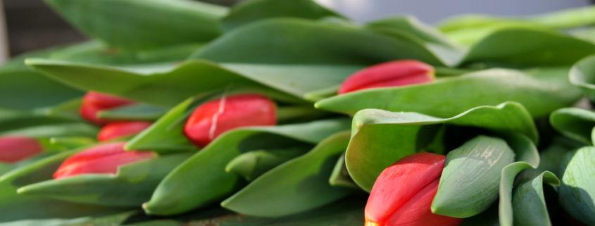 garteling-Gartenblog-Cecerle-uitz-garten-tulpen-valentinstag